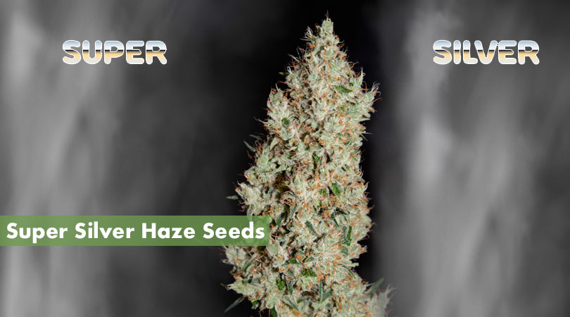 Super Silver Haze Seeds Main Photo