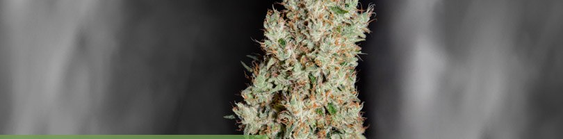 Super Silver Haze Seeds Featured Image