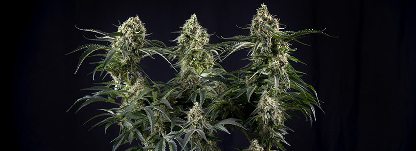 Super Silver Haze Seeds Strain Description