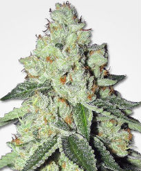 THC Snow Feminized Seeds