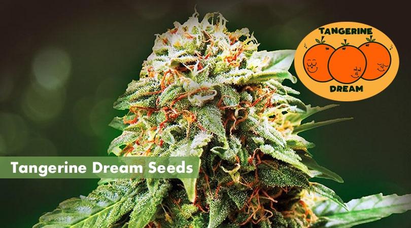 Tangerine Dream Seeds Cover Photo