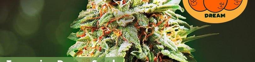 Tangerine Dream Seeds Featured Image