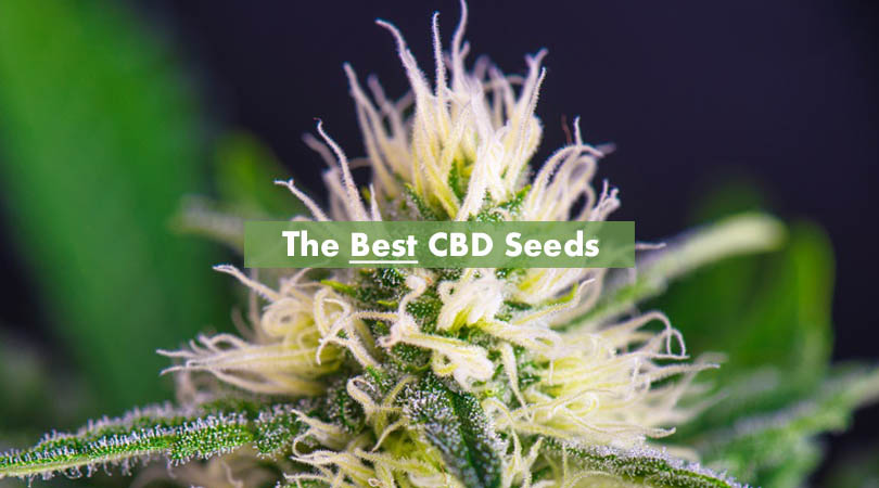 The Best CBD Seeds Cover Photo Final