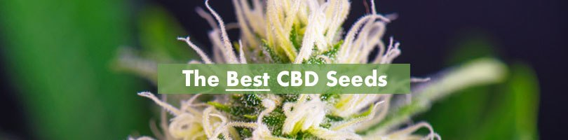The Best CBD Seeds Featured Image Final