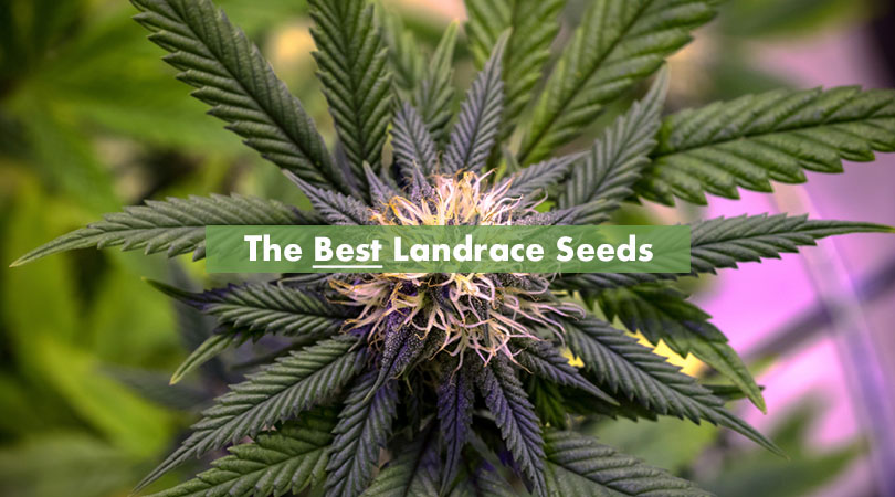 The Best Landrace Seeds Cover Photo