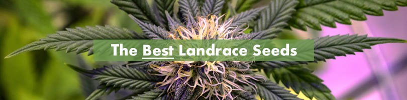The Best Landrace Seeds Featured Image