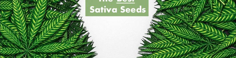 The Best Sativa Seeds Featured Image