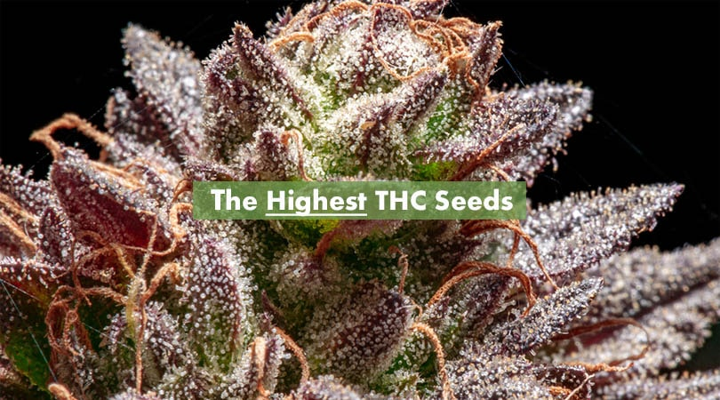 The Highest THC Seeds Cover Photo