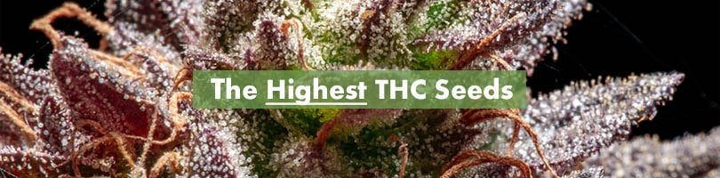 The Highest THC Seeds Featured Image