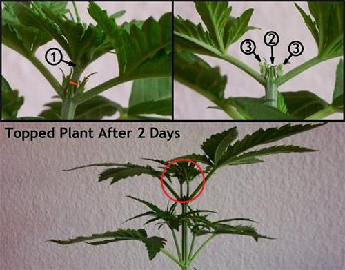 Topping Cannabis Cut Guide