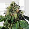 Trainwreck Feminized Cannabis Seeds