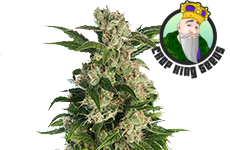 Trainwreck Feminized Seeds Crop King Seeds
