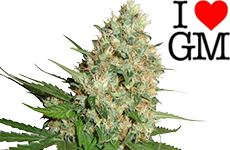 Trainwreck Feminized Seeds ILGM