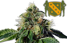 Trainwreck Feminized Seeds MSNL