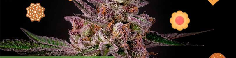 Tropicana Cookies Seeds Featured Image