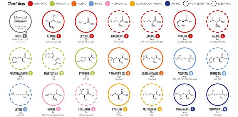 Twenty Common Amino Acids
