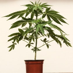 Vegetative Stage of Cannabis Plant