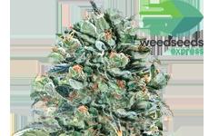 WSE Super Glue Feminized Seeds