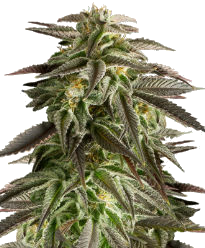 Blue Cheese Autoflower-Feminized Seeds