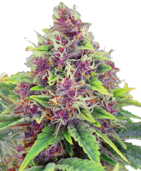 Blueberry Autoflower-Feminized Seeds