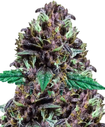 CBD Purple Kush Autoflower-Feminized Seeds