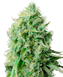 Cannatonic Feminized Seeds