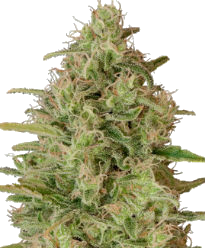 Critical Jack Herer Feminized Seeds