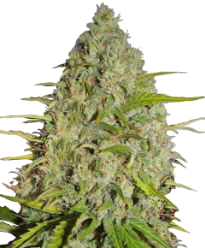 Gorilla Glue Autoflower-Feminized Seeds
