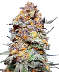 Granddaddy Purple Feminized Seeds