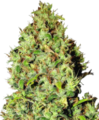 Mazar Autoflower-Feminized Seeds