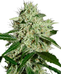 Northern Lights Autoflower-Feminized Seeds