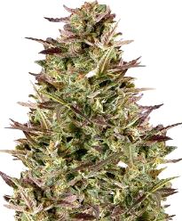 Pinkman Goo Feminized Seeds