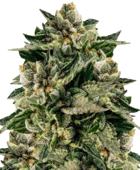Skywalker OG Feminized Seeds