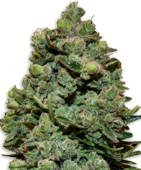 Swiss Cheese Feminized Seeds