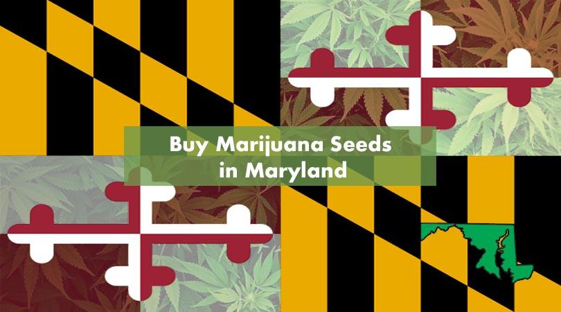 Where to Buy Marijuana Seeds in Maryland Cover Photo