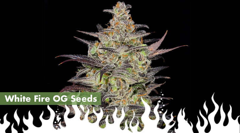 White Fire OG Seeds Cover Photo