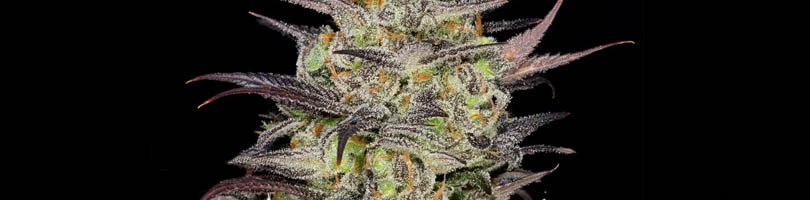 White Fire OG Seeds Featured Image