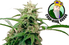 White Rhino Feminized Seeds CKS