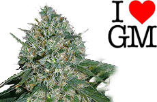 White Rhino Feminized Seeds ILGM