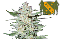 White Rhino Feminized Seeds MSNL