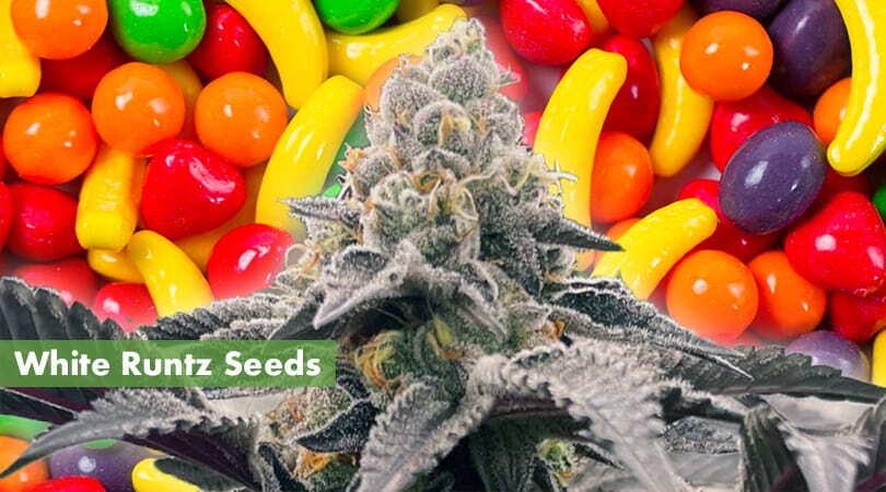 White Runtz Seeds Cover Photo