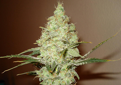 White Russian High Times Cannabis Cup Winner Seeds
