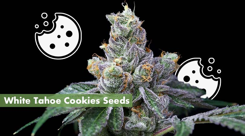 White Tahoe Cookies Seeds Cover Photo