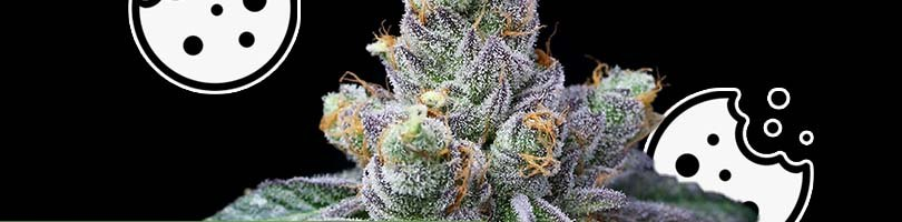 White Tahoe Cookies Seeds Featured Image