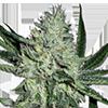 White Widow Feminized Cannabis Seeds