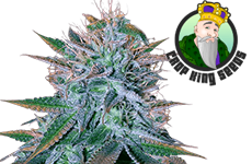 White Widow Feminized Seeds CKS