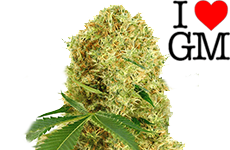 White Widow Feminized Seeds ILGM