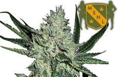 White Widow Feminized Seeds MSNL