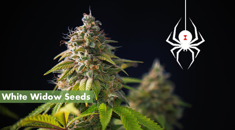 White Widow Seeds Cover Photo