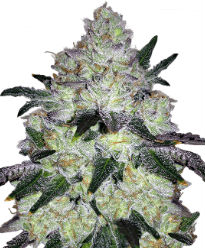 White Cookies - Crop King Seeds